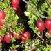 Боровинка червена - 100гр